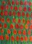 Czerwone tulipany, 2014 r.