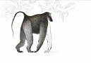 Untitled (Baboon)